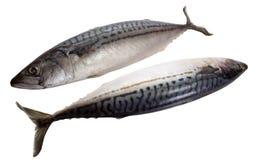 Makrele auf weißem Hintergrund Lizenzfreies Stockfoto