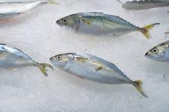 Makrele für das Kochen auf Eis stockbild