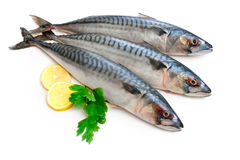 Makrele-Fische Lizenzfreie Stockfotos