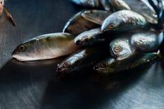 Makrelenfische Stockfoto