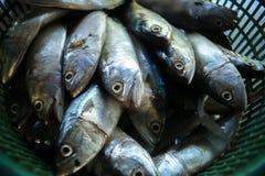 Makrelenfische Lizenzfreie Stockfotografie