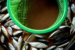 Makrelenfische Stockfotos