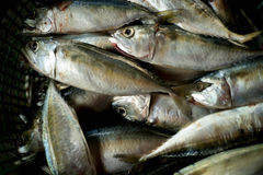 Makrelenfische Stockbild