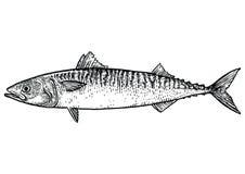Makrelenfischillustration, Zeichnung, Stich, Linie Kunst, realistisch Stockbilder