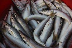Makrelenhecht Lizenzfreies Stockbild