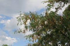 Makro Örhängen hänger på trädet royaltyfri foto