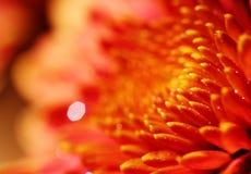 Makro- ładny pomarańczowy chryzantema kwiat zdjęcia royalty free