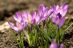 Makro- świat krokusy wokoło chłopiec psa radości kałuż target3443_1_ działającą wiosna obraz stock
