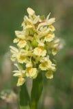 Makro- żółty dactylorhiza sambucina Zdjęcia Royalty Free
