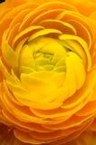 Makro- żółty kwiat dla tła Obrazy Royalty Free