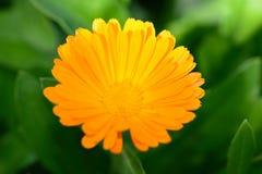 Makro- żółty kwiat w ogródzie w słonecznym dniu z bliska Obrazy Royalty Free