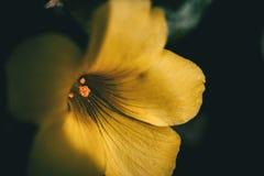Makro- żółty szczawika kwiat obraz royalty free