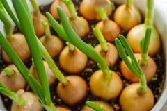 Όμορφο makro κρεμμυδιών άνοιξη στοκ εικόνες