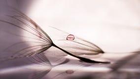 Makro-, abstrakcjonistyczny skład z kolorową wodą, opuszcza na dandelion ziarnach Zdjęcie Stock