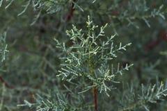 Makro- akcyjna fotografia gałęziasty Cupressus arizonica Conifer igły Zdjęcia Royalty Free