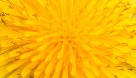 Makro av abstrakt begreppgulingblomman, closeupsugga-tistel Royaltyfri Fotografi