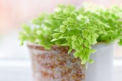 Makro av adiantumphilippense eller maidenhairormbunken som växer i a Fotografering för Bildbyråer