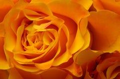 Makro av apelsinrosen Royaltyfri Bild