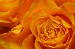 Makro av apelsinrosen Arkivbild