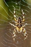 Makro av Araneusdiadematusspindeln med panelljuset arkivfoto