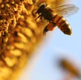Makro av biet Fotografering för Bildbyråer