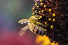 Makro av biet på blomman Royaltyfri Foto