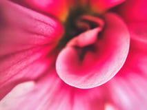 Makro av blommakronbladet Fotografering för Bildbyråer