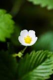 Makro av blomman för lös jordgubbe Royaltyfri Fotografi