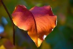 Makro av Bradford Pear Leaf i Autumn Colors fotografering för bildbyråer