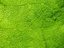 Makro av cellmodellen i stort grönt blad Arkivbild