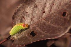 Makro av Dagger Moth Caterpillar Royaltyfri Foto