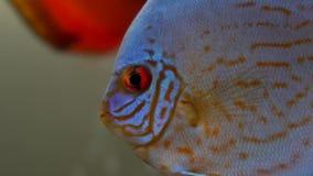 Makro av den blåa röda diskusfisken med röda ögon som simmar i akvarium på blury bubblabakgrund med andra fiskar, färger arkivfilmer