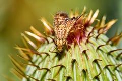 Makro av den f?rgrika Paracantha fruktflugan p? Cirsiumtexanumknoppen arkivfoto
