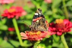 Makro av den fjärilsVanessa atalantaen som samlar nektar på zinniaen Arkivfoto