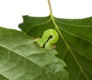 Makro av den gröna inchwormen på björkbladet royaltyfri fotografi