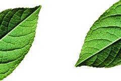 Makro av den gröna leafen Arkivbild