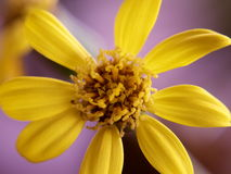 Makro av den gula blomman Royaltyfri Foto