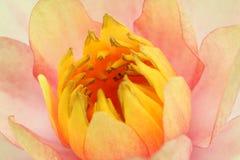 Makro av den härliga gula lotusblommablomningen arkivbilder