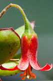 Makro av den röda blomman Royaltyfri Foto