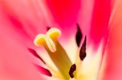 Makro av den röda tulpan Arkivfoto