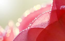 Makro av den rosa EuphorbiaMilii blomman Arkivbild