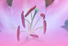 Makro av den rosa liljablomman Fotografering för Bildbyråer