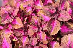 Makro av den rosa och röda blomman Royaltyfri Bild