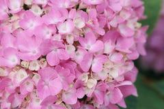 Makro av den rosa vanlig hortensiablommaväggen royaltyfria foton