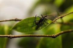 Makro av den unika myran med fullvuxen hankronhjort 2 på dess baksida royaltyfri bild