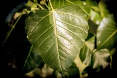 Makro av det gröna bladet av den naturliga växten royaltyfria foton