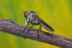 Makro av det klipska (rånareflugan, asilidaen, rovdjuret) krypet Royaltyfri Fotografi