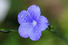 Makro av en blå linblomma arkivbild