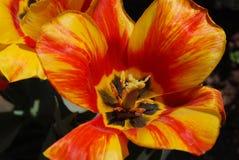 Makro av en blomma gjord randig gul och röd tulpan Arkivbild