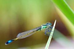 Makro av en drakefluga på ett blad Royaltyfria Bilder